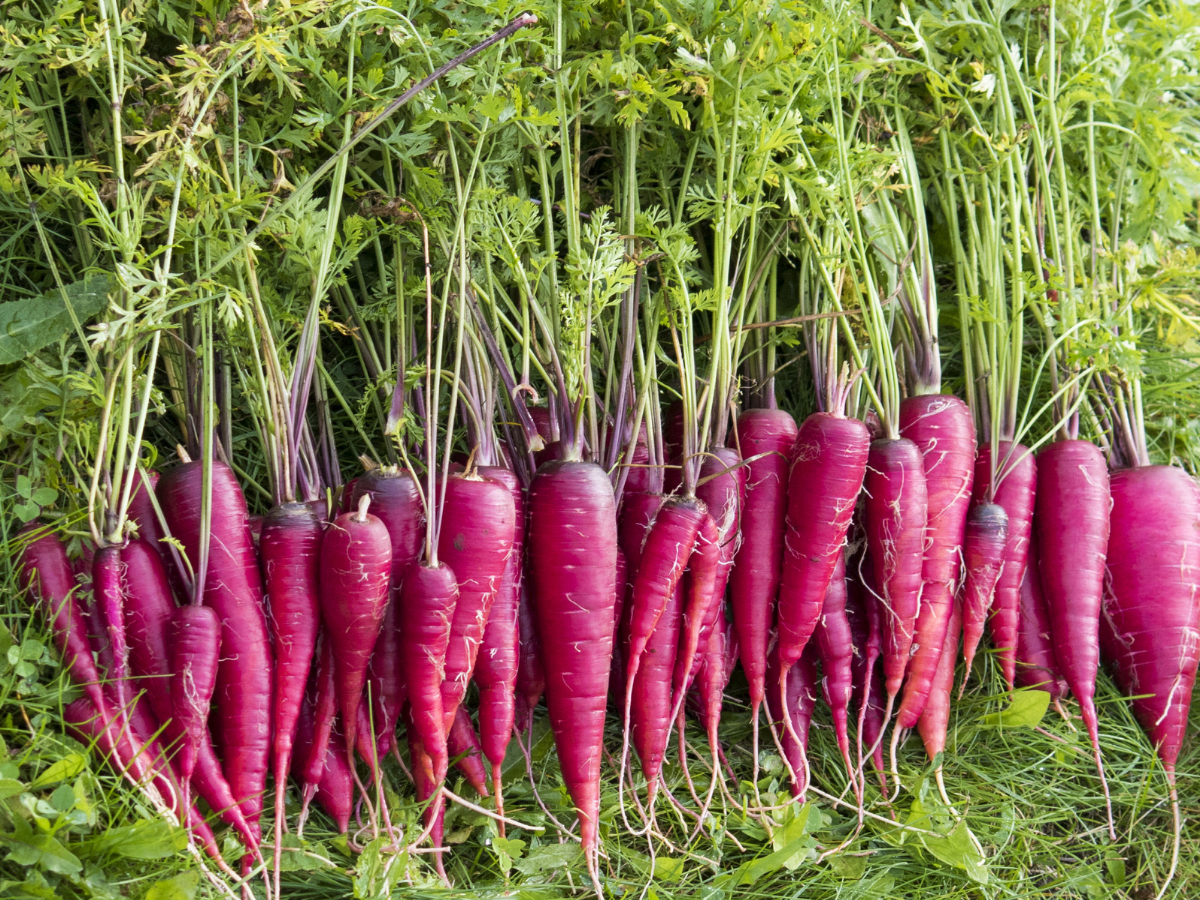How to include purple carrot in your daily diet?
