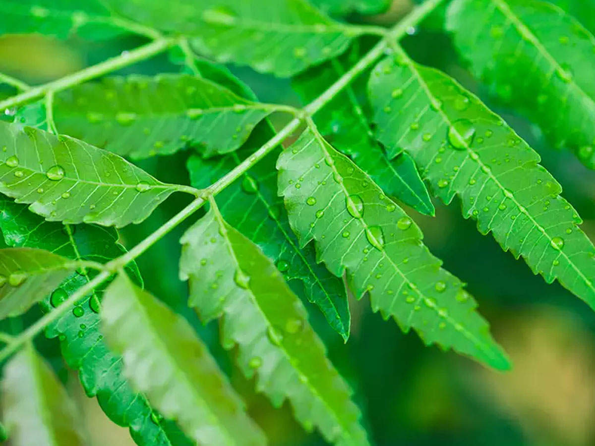 Health Benefits of Neem: Why you must have neem leaves daily in the month  of April