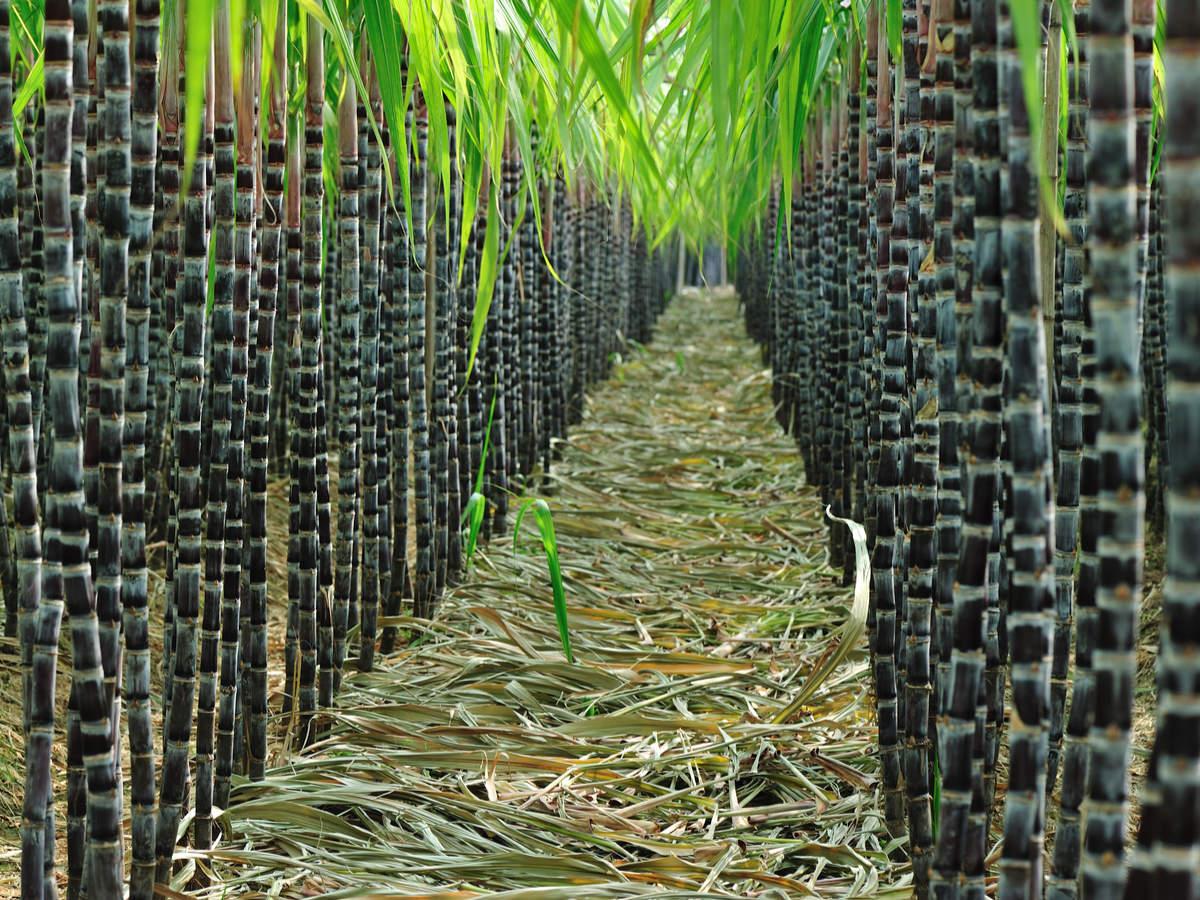 Sugarcane Health Benefits