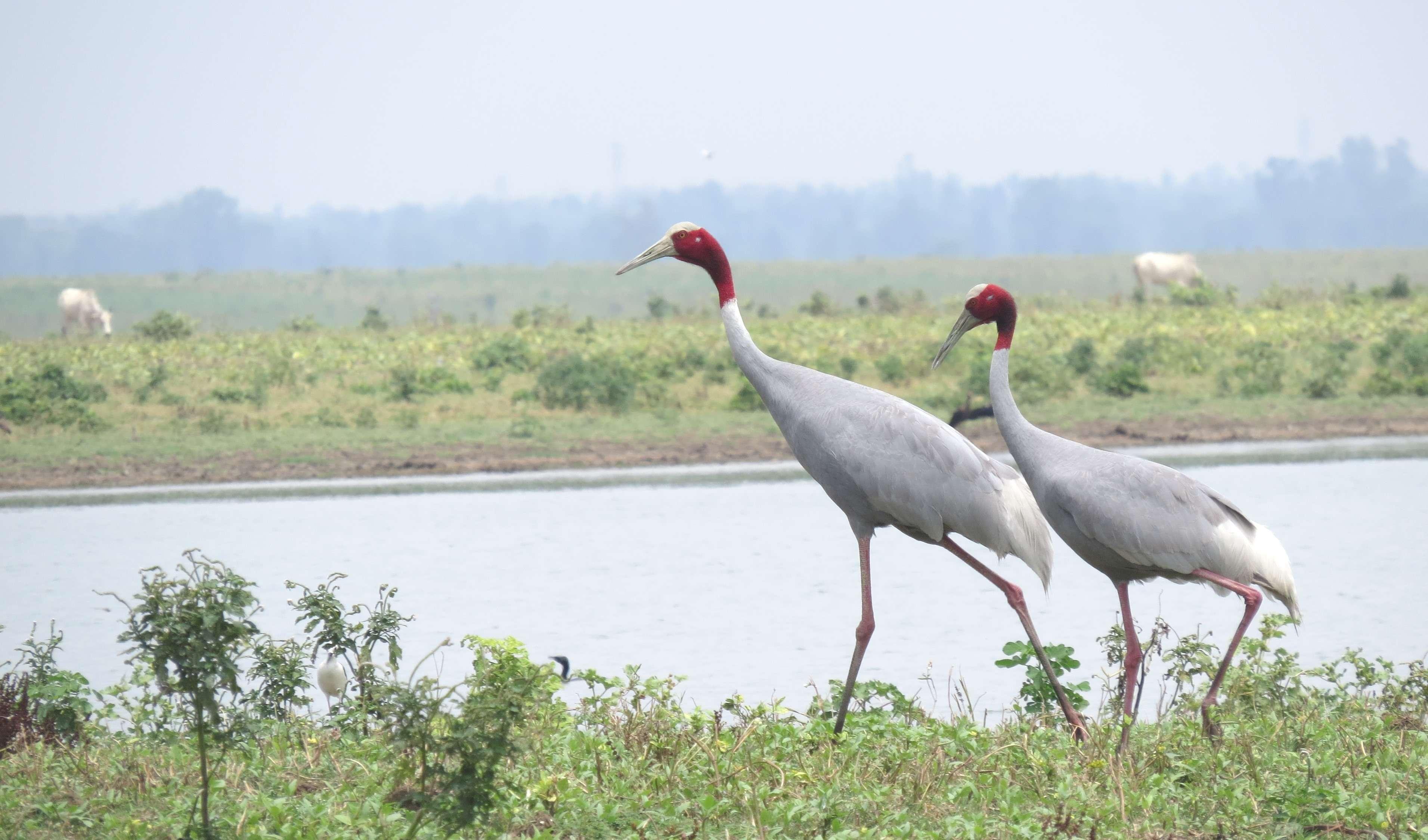 Sarus crane (Hindi-Saras Kronch)
