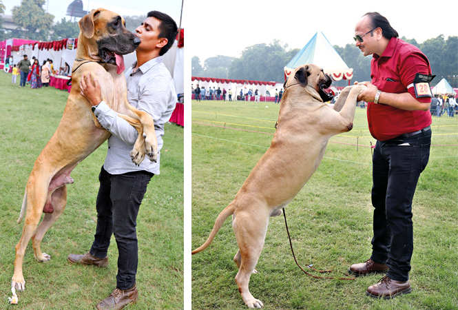 (L) I'm scared! Austil the Great Dane seems to be telling his handler (R) STAND BY ME: Nitin Kumar with Bruno, a Bull Mastiff (BCCL/ Aditya Yadav)