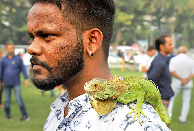 Jelly, the Iguana showing its true colours (BCCL/ Aditya Yadav)
