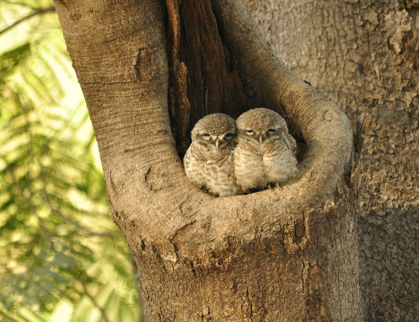 Urban jungles provide birdwatching spots for spotted owlets