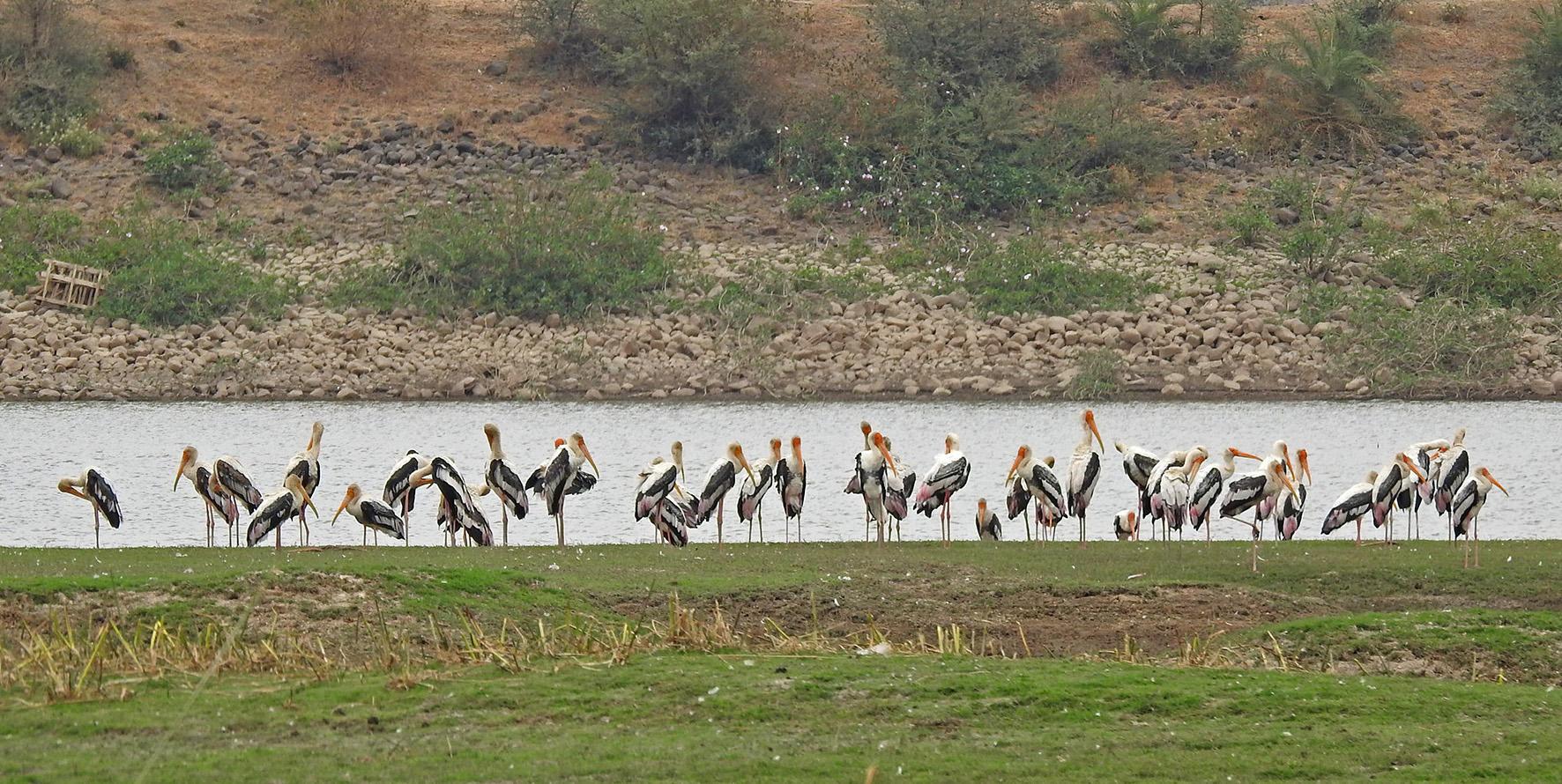 Painted storks at Kishanpura lake