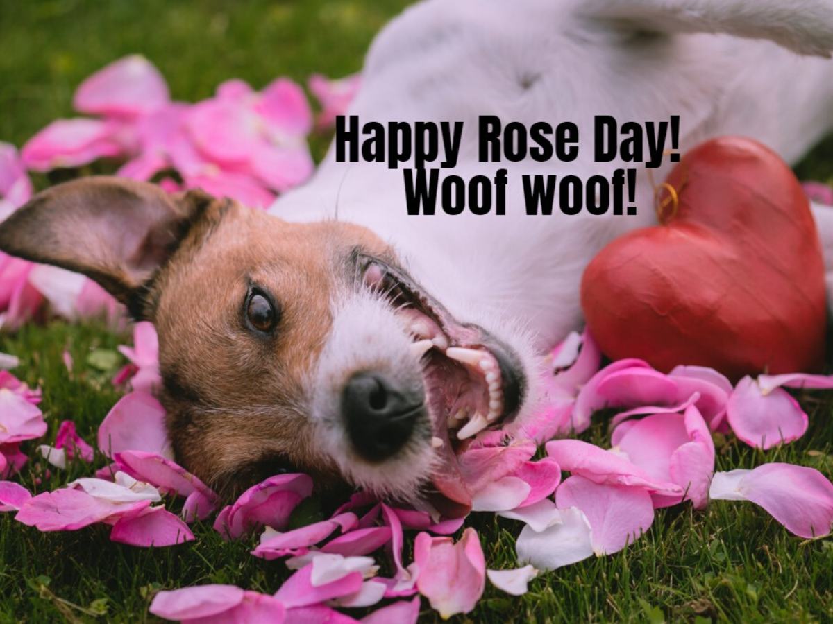 Happy Rose Day 2020: Status, Wishes, Messages, Quotes, Images