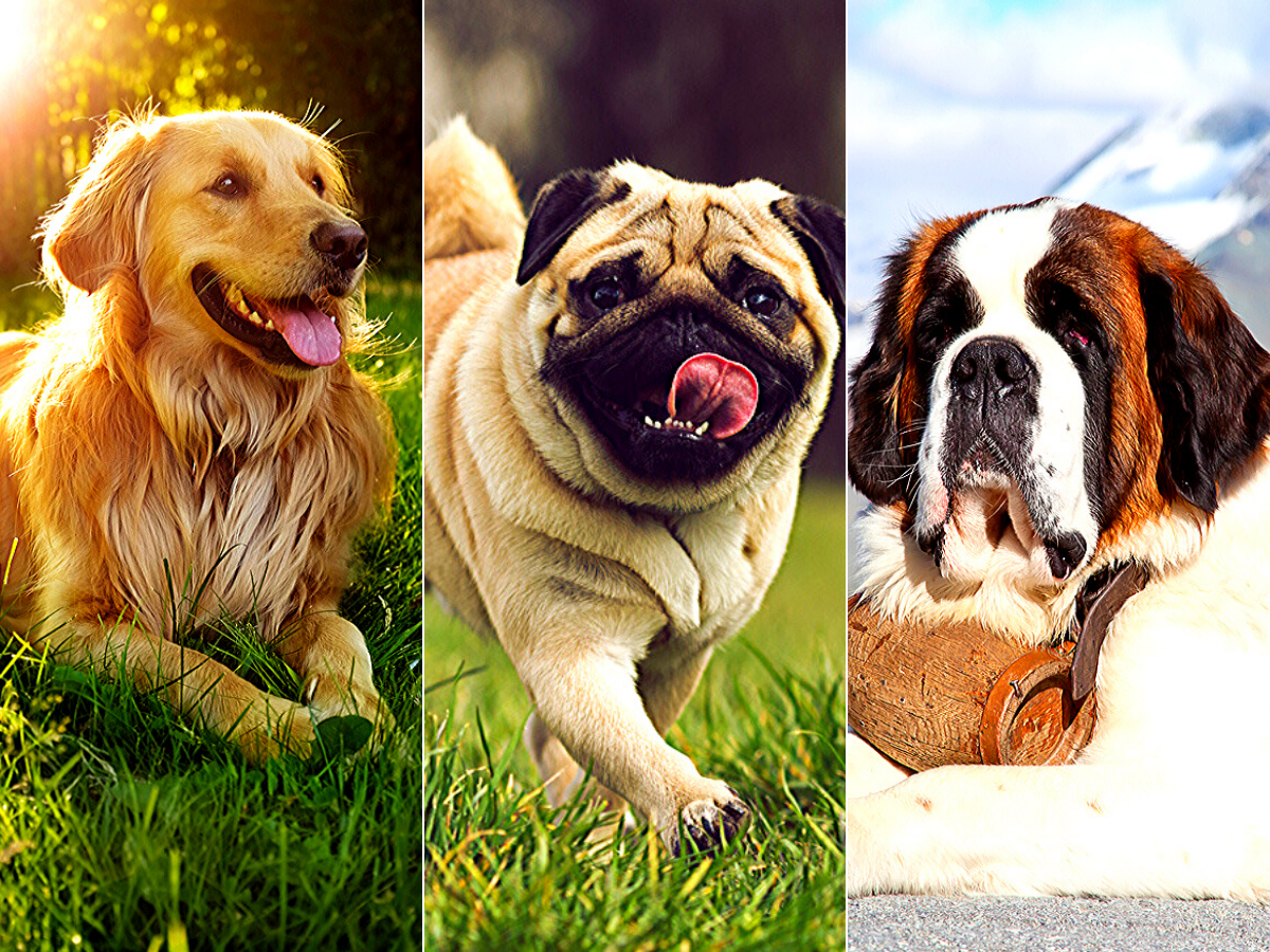 From Pug to Golden Retriever, 5 popular dog breeds and the story of their origin