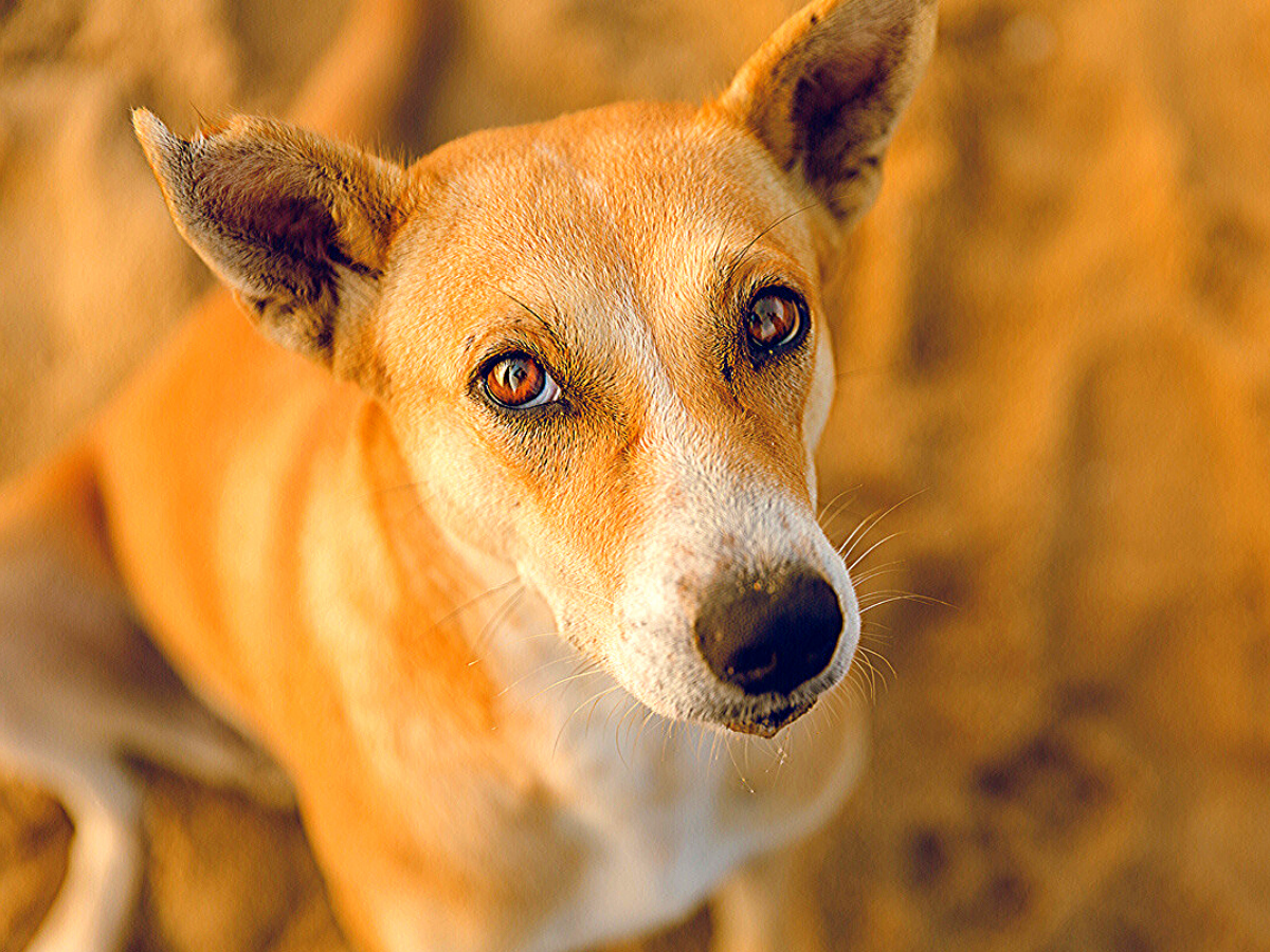 8 amazing Indian dog breeds that everyone should know