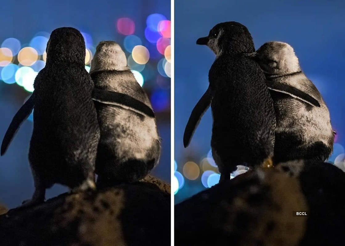 Viral pictures of widowed Penguins finding comfort in each other will surely melt your heart!