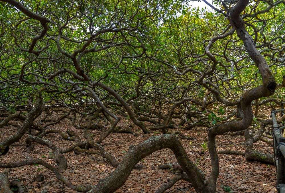 World's largest cashew tree is almost the size of two football fields! See pics