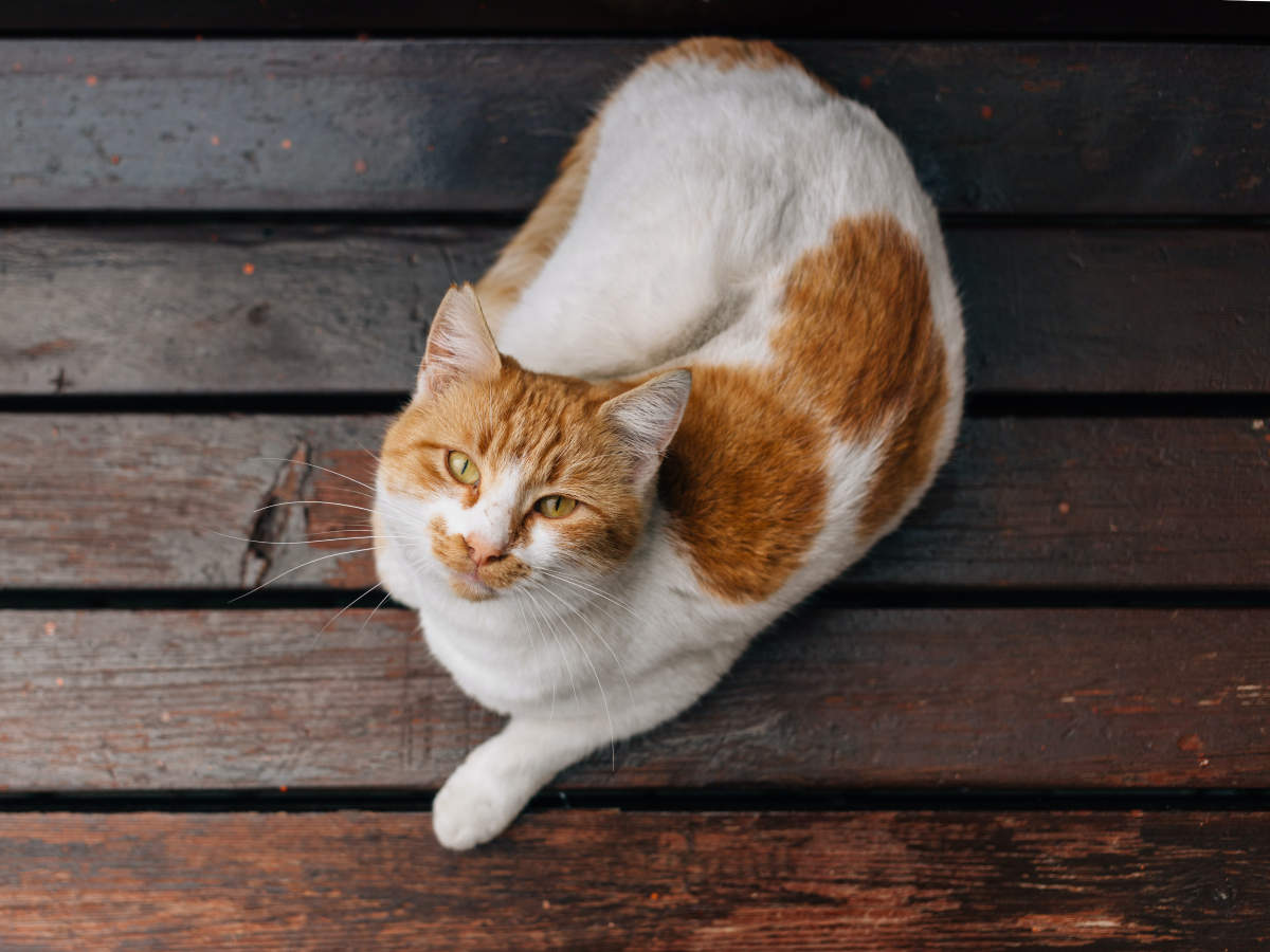 Most Exotic Cat Breeds In The World The Times Of India
