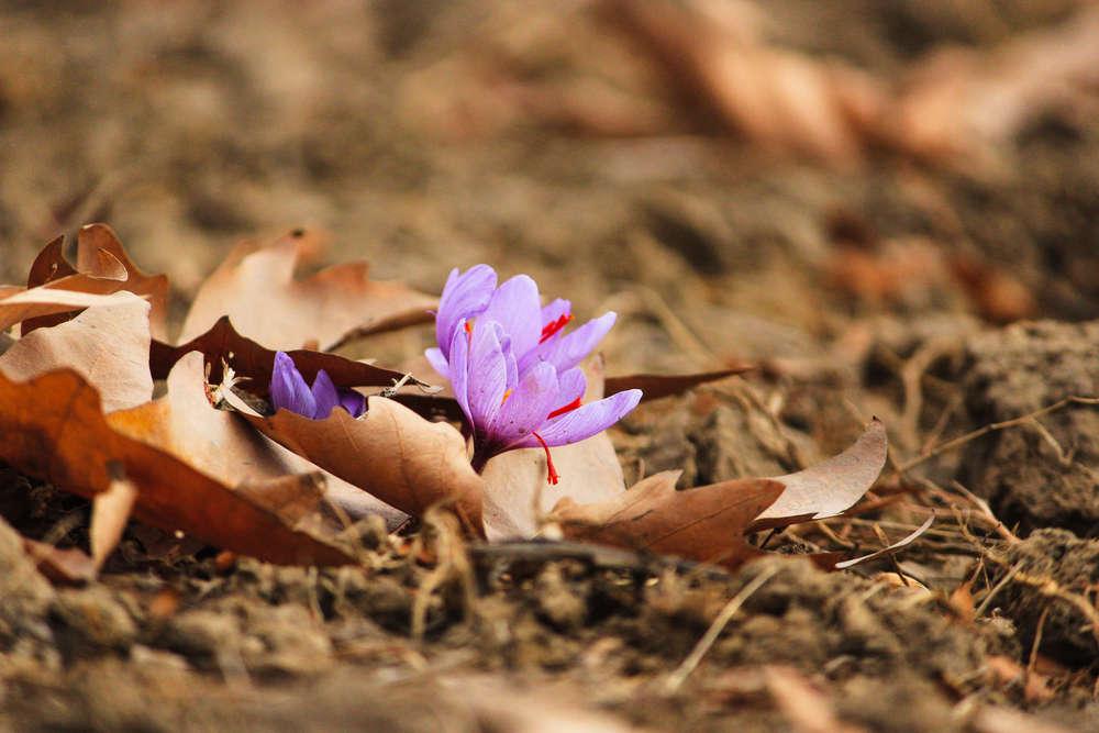 Kashmir's precious saffron earns the GI tag