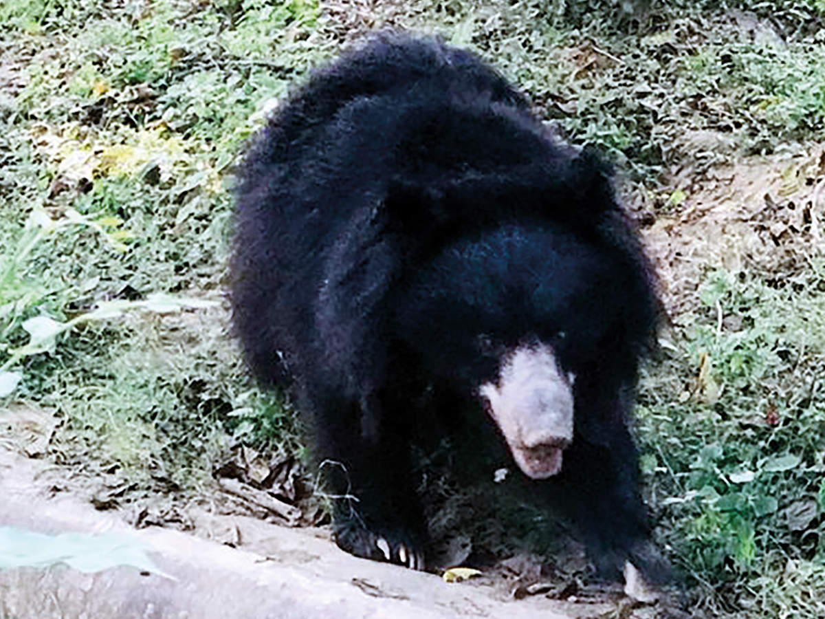 The sloth bear named Jaamvant adopted by the class of '88 of St Agnes'  (BCCL)