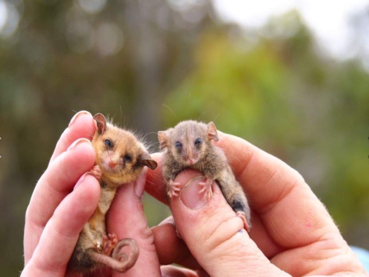 Next time in Australia, meet tiny possums that survived 2020 fires