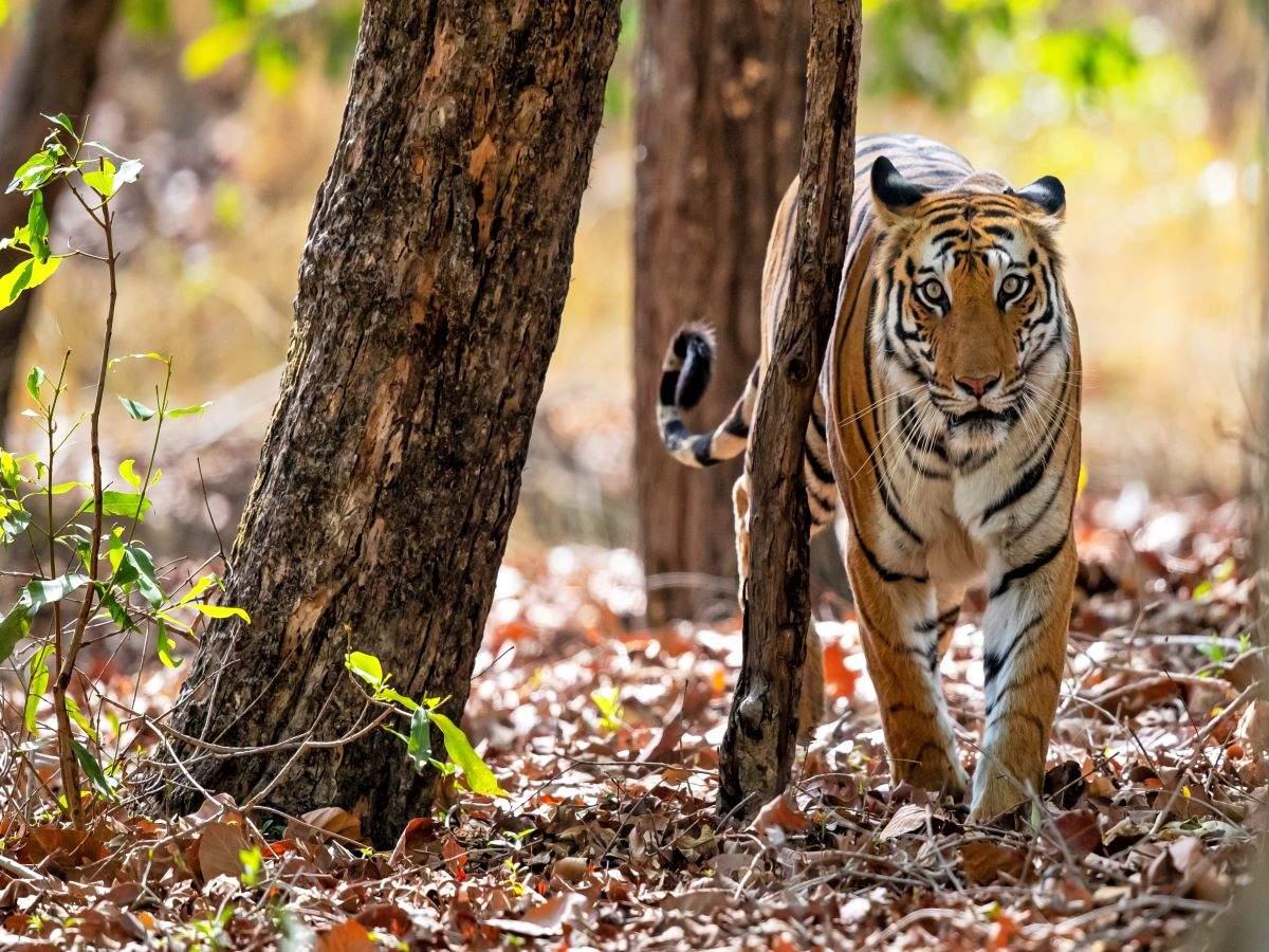 Madhya Pradesh launches country's first-ever tiger reserve hot air balloon safari