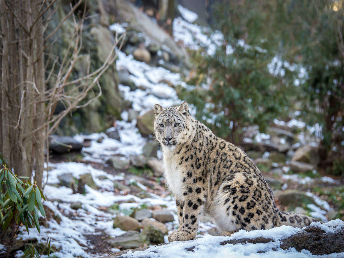 Uttarakhand set to promote conservation; organises winter snow leopard tours