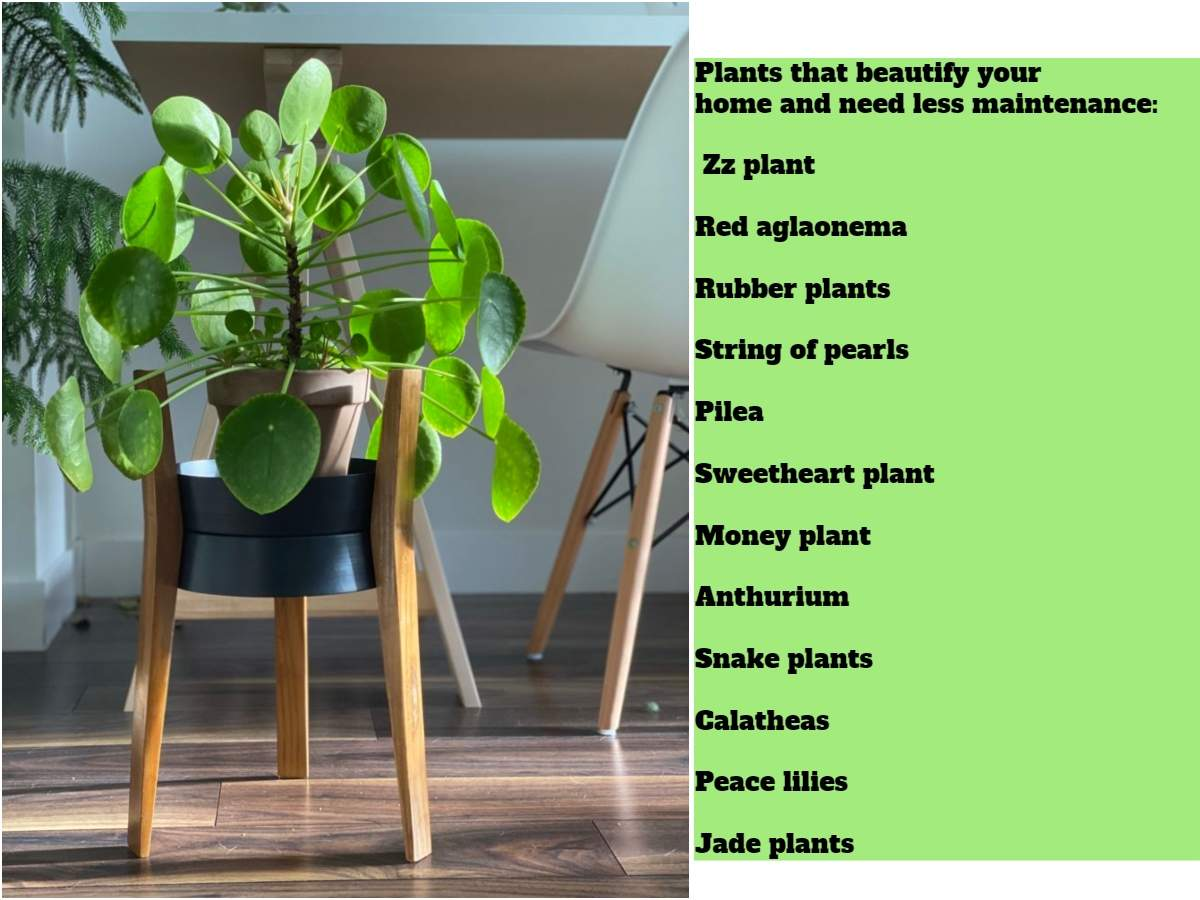 Zz Plant Money Plants Peace Lilies Zz Plants Give Your Home A Green Facelift With Indoors Plants Times Of India