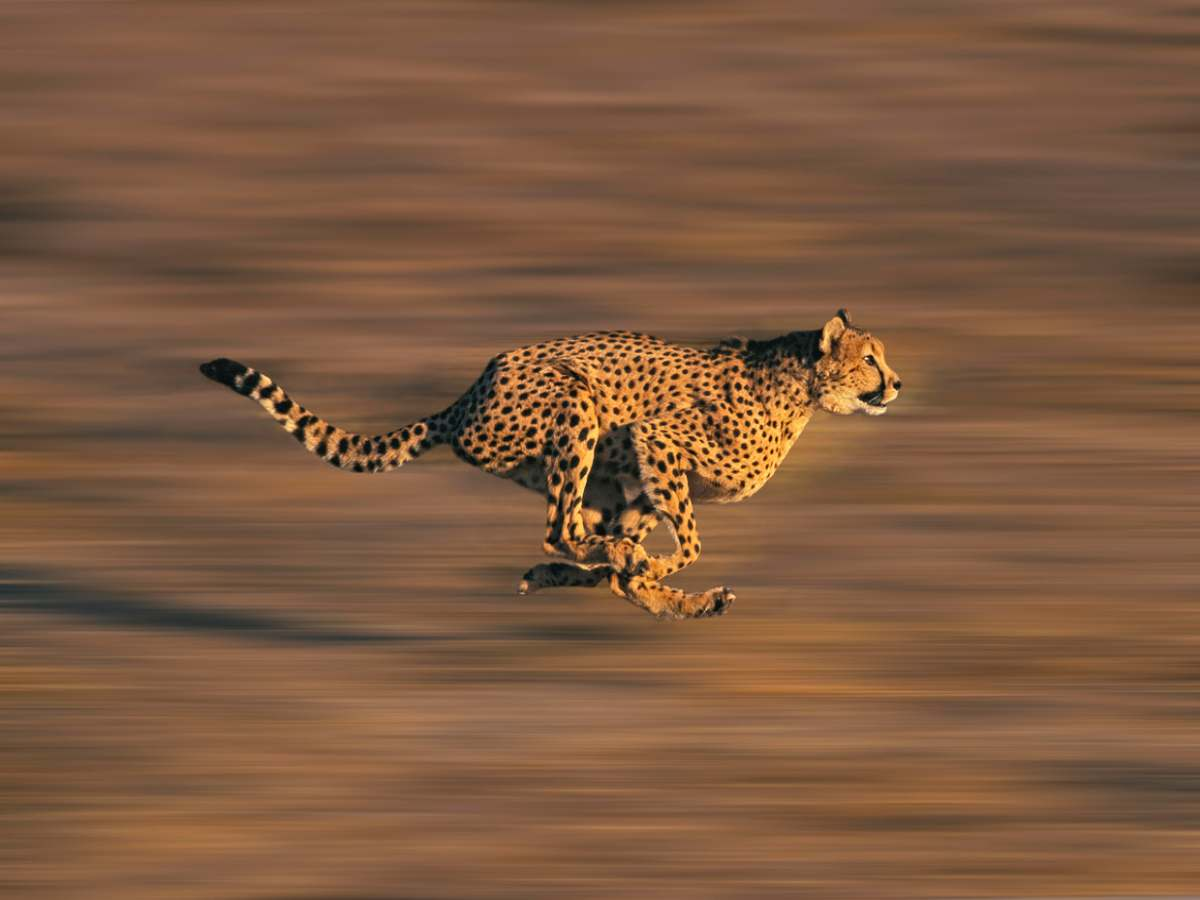 Cheetahs to get reintroduced in India by the end of this year