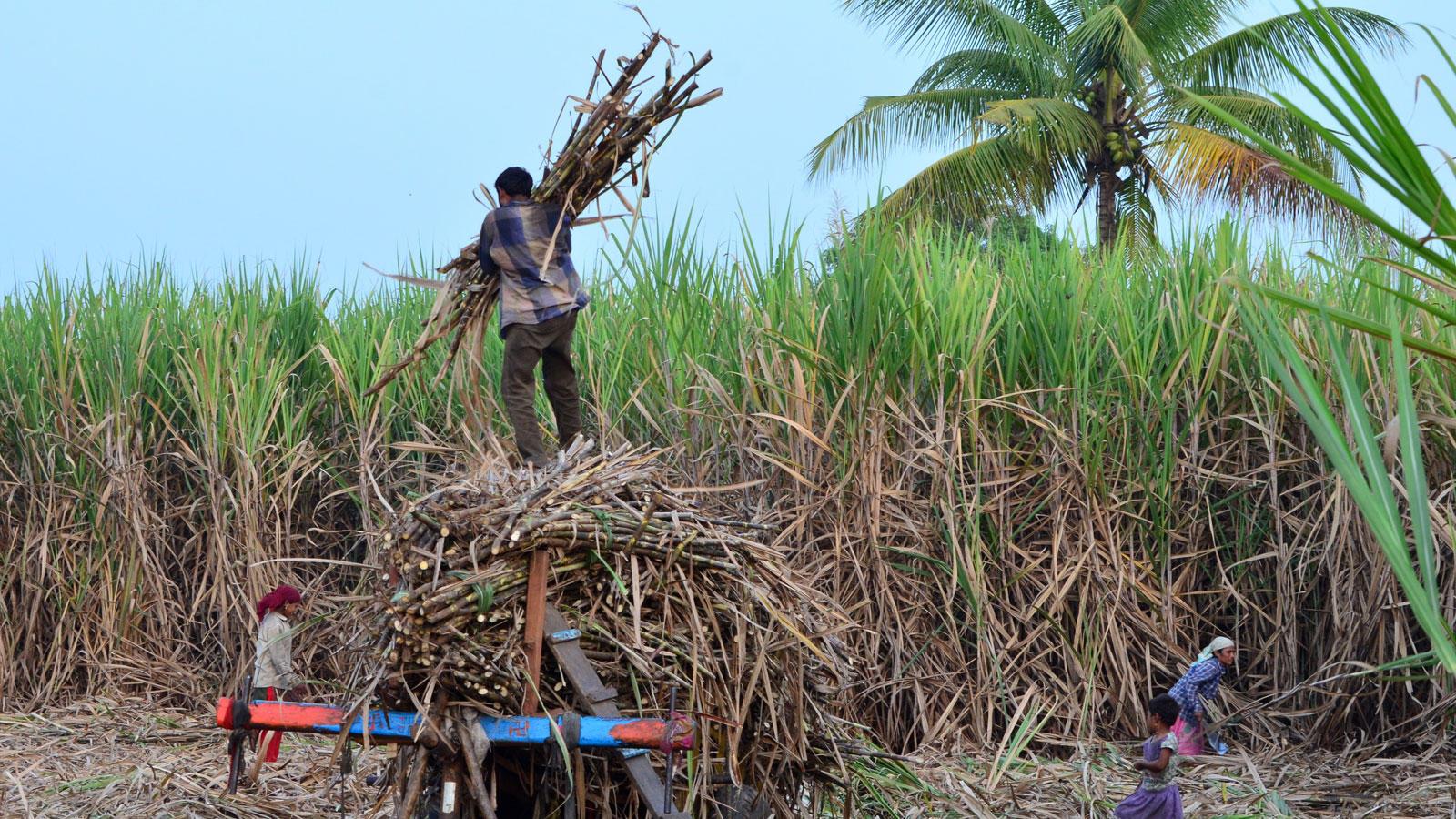 Farmers busy with harvesting sugarcane in western Maharashtra (Photo: Rahul Gayakwad)