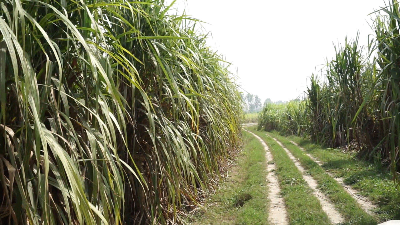A sugarcane farm in Western UP