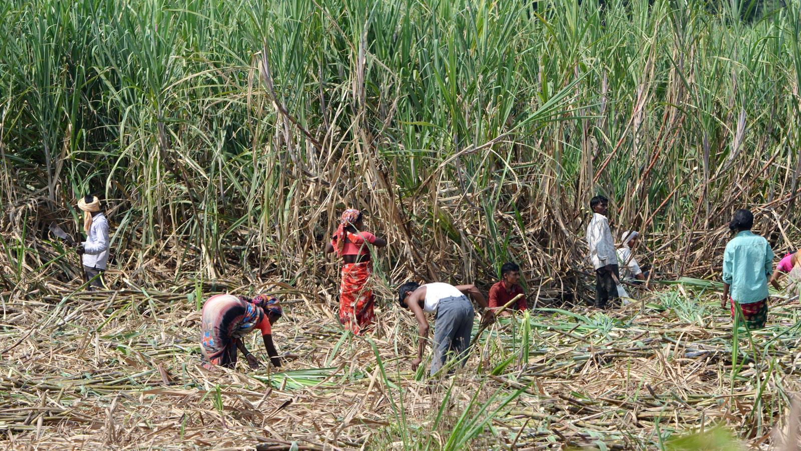 Sugarcane being harvested in Kolhapur, Maharashtra