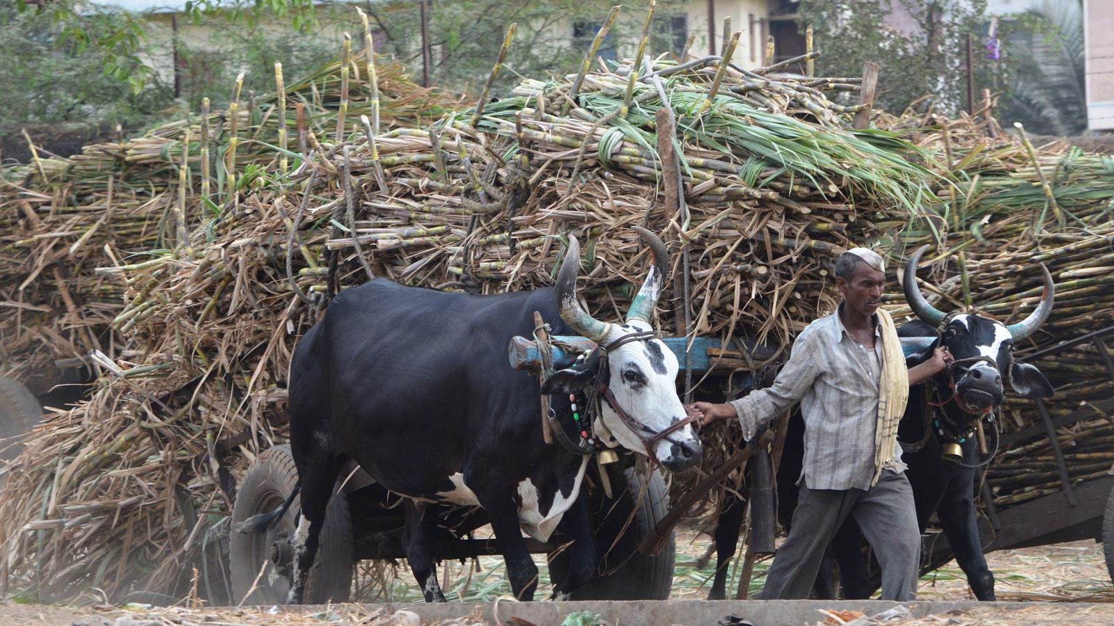 Farmers are busy with sugarcane harvest in western Maharashtra (Photo: Rahul Gayakwad)