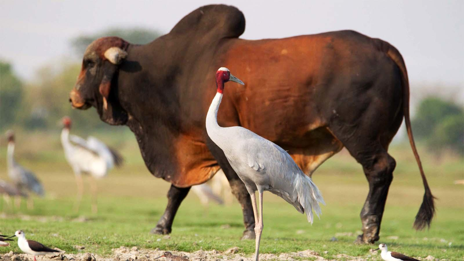 The stray cattle menace could drive away migratory birds from Bharatpur sanctuary, according to ecologists
