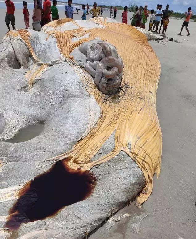 West Bengal: 59ft 'blue whale' carcass washes ashore near Bakkhali | Kolkata News, the vie