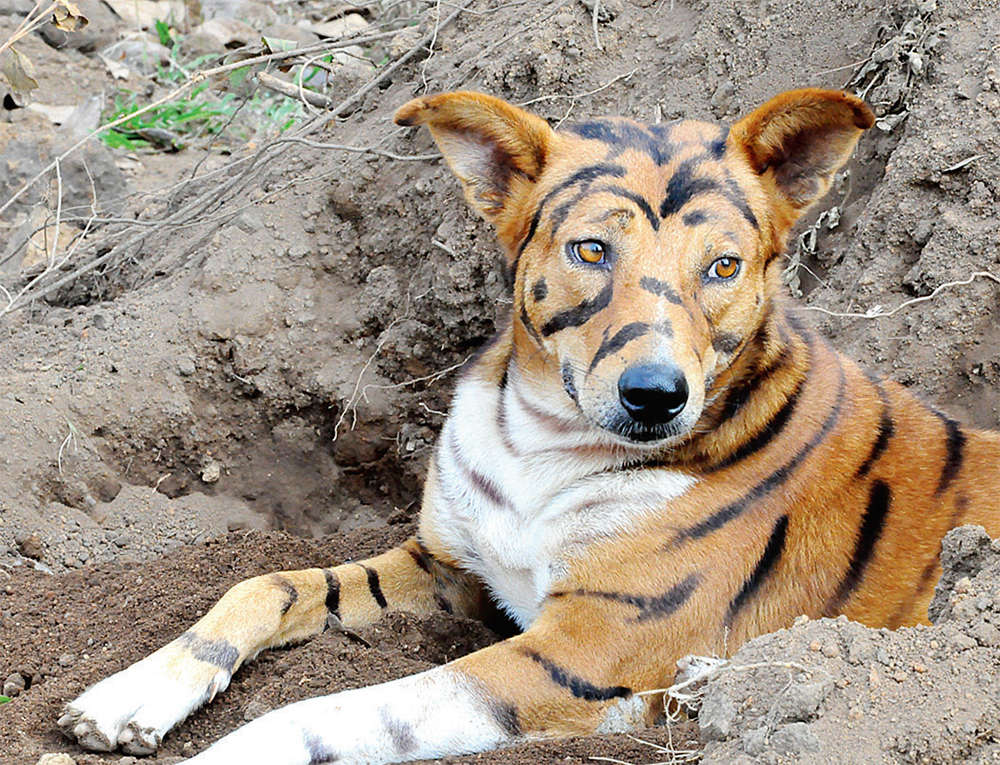 Wag the dog is a tiger for monkeys - Show me a picture of the tiger ...