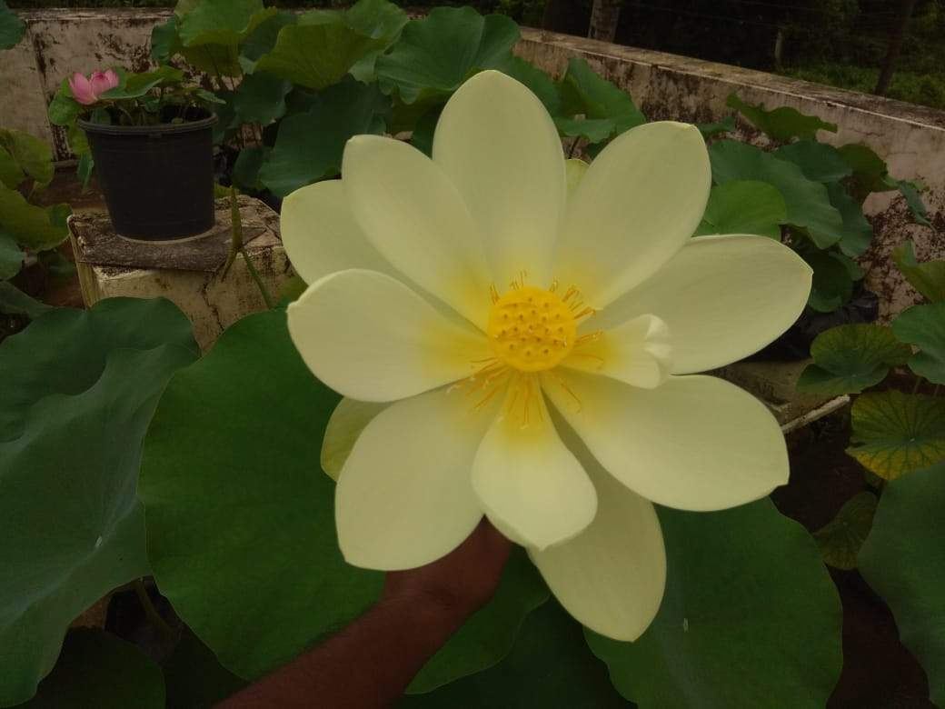 Lotus Love Lotus Lots And Lots Kochi News Times Of India