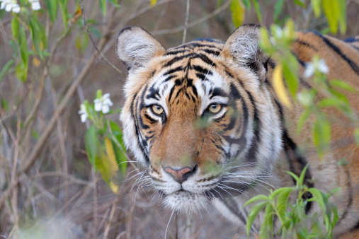 The Indian tiger trail: The famous four