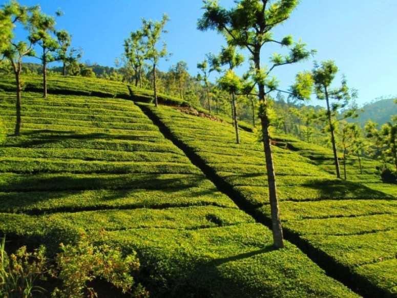 Tea plantation tours
