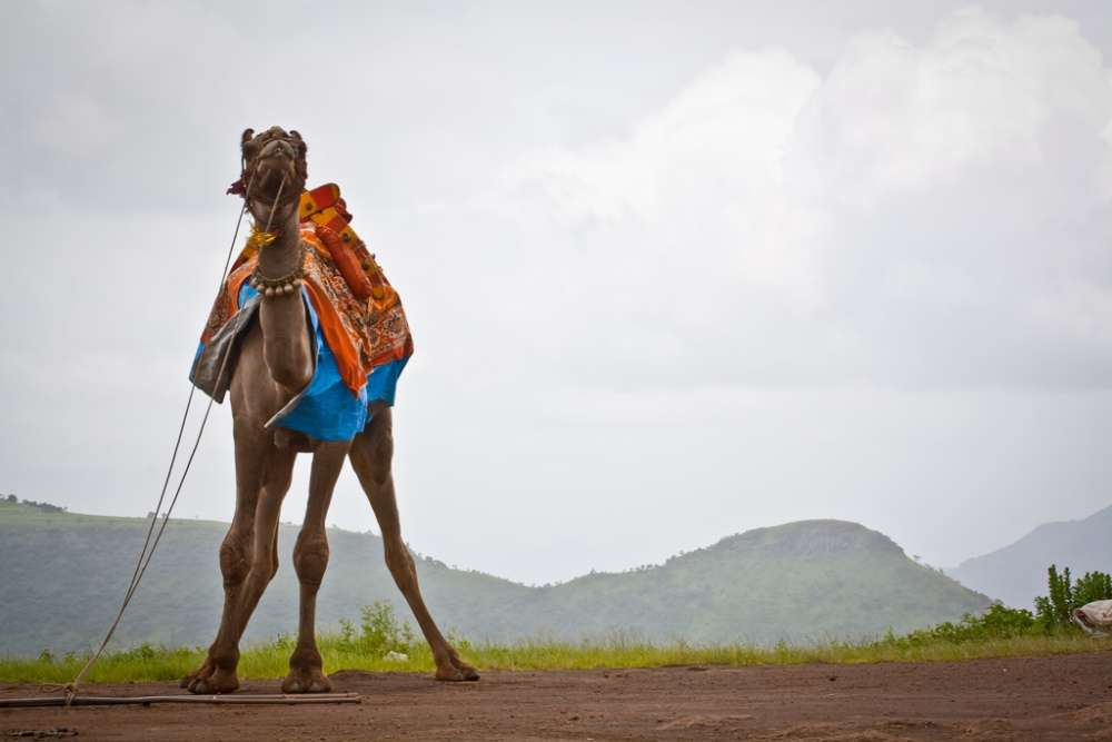 Camel and Horse Riding