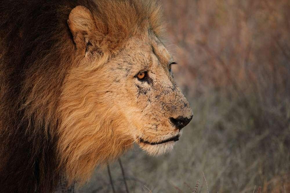 Duba Plains Lion Safari