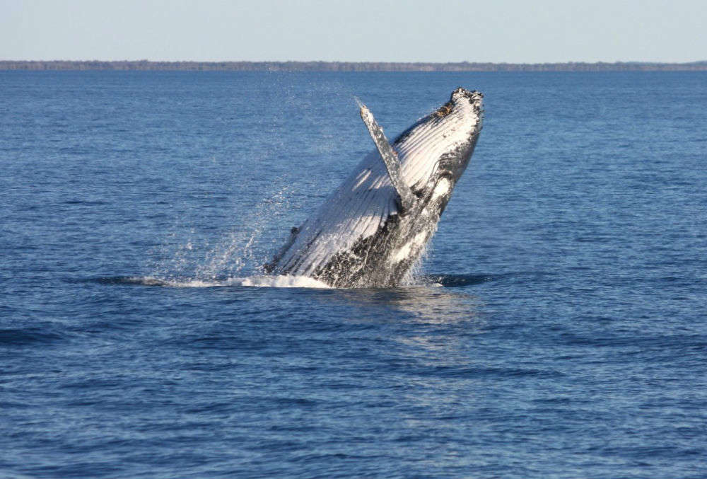 Humpback migration in Hervey Bay