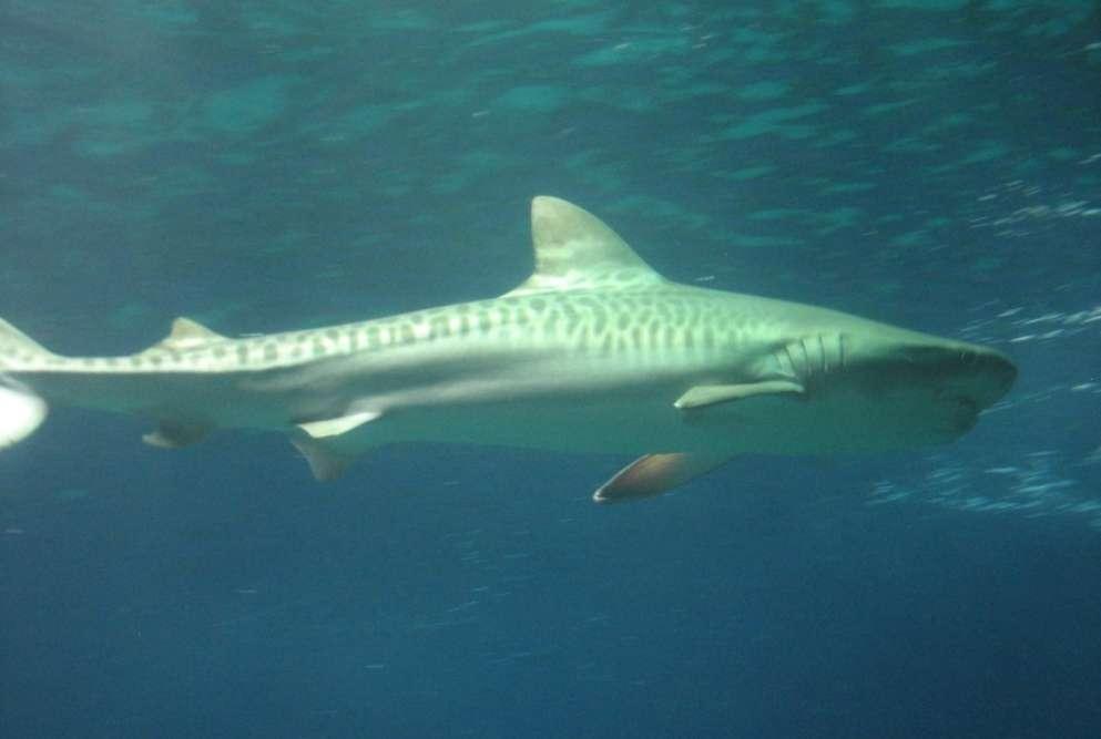 Tiger sharks at Umkomaas