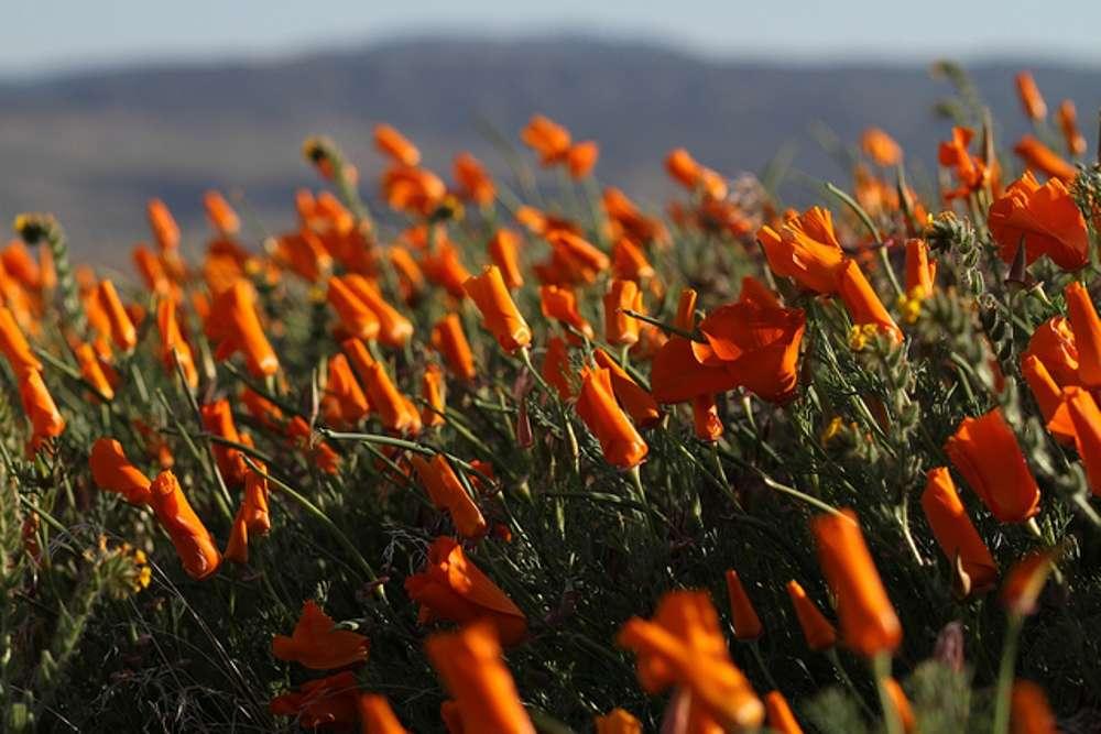 Antelope Valley Poppy Reserve in California