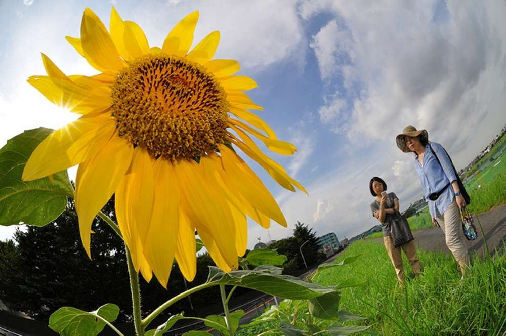 Sunflower Festival in Zama, Japan