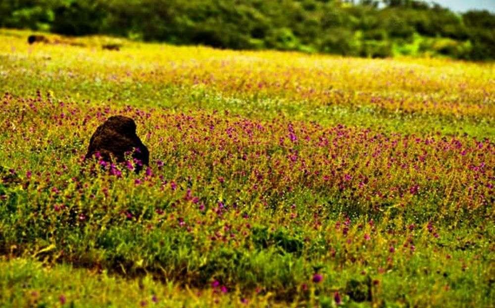 Kaas Pathar—Maharashtra's Plateau of Flowers