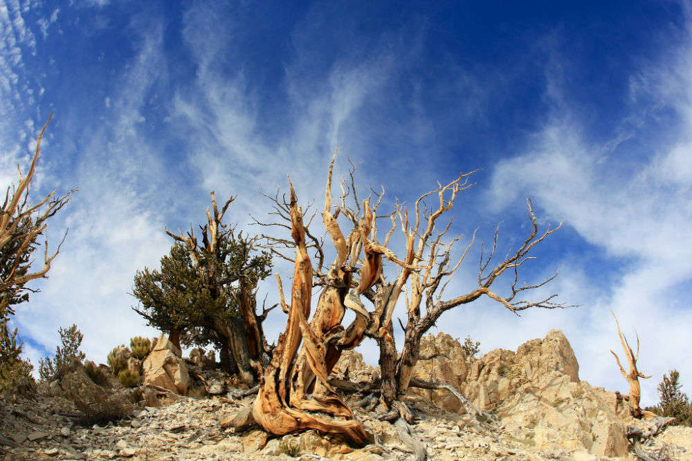 Bristlecone pine—the oldest tree species on earth