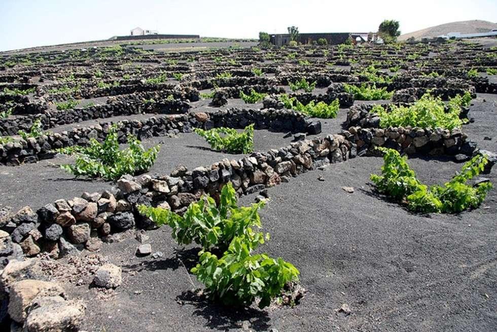Peculiar vineyards of Lanzarote in Spain