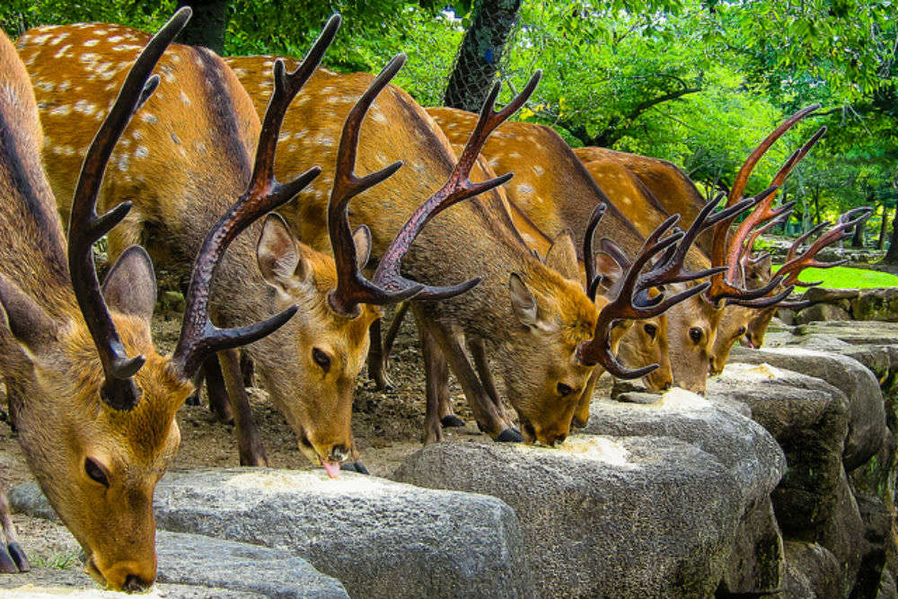 Nara: the city taken over by deer