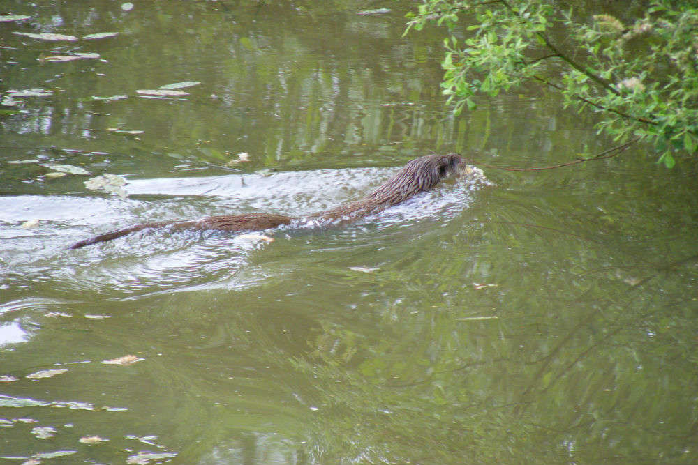 New Zealand's Waitoreke or Maori Otter