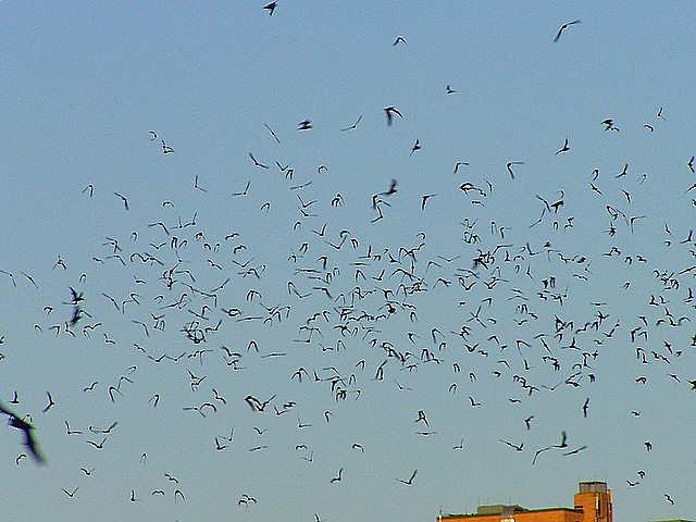 Congress Bridge Bats