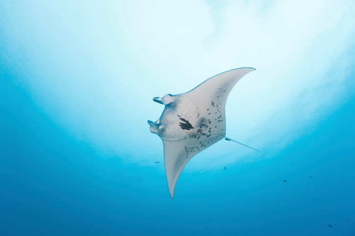Close encounters with manta rays