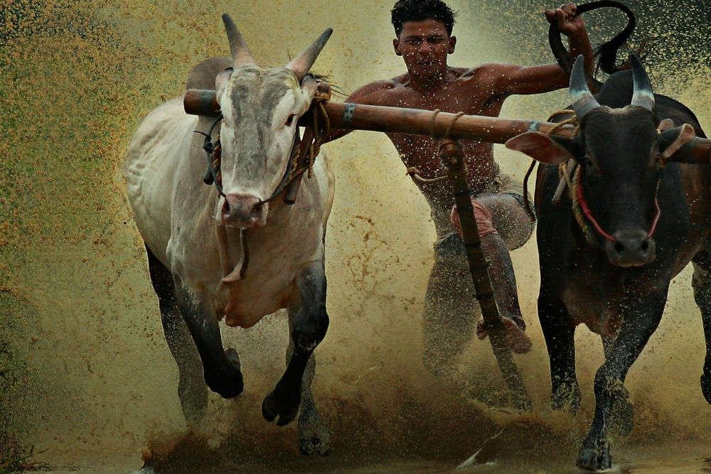 Maramadi—bull surfing in Kerala