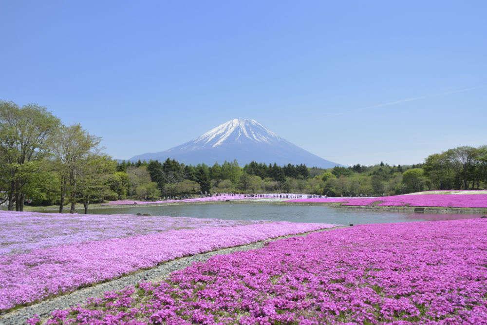 Moss pink blossoms at Hitsujiyama Park