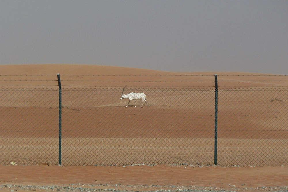Arabian Oryx Sanctuary
