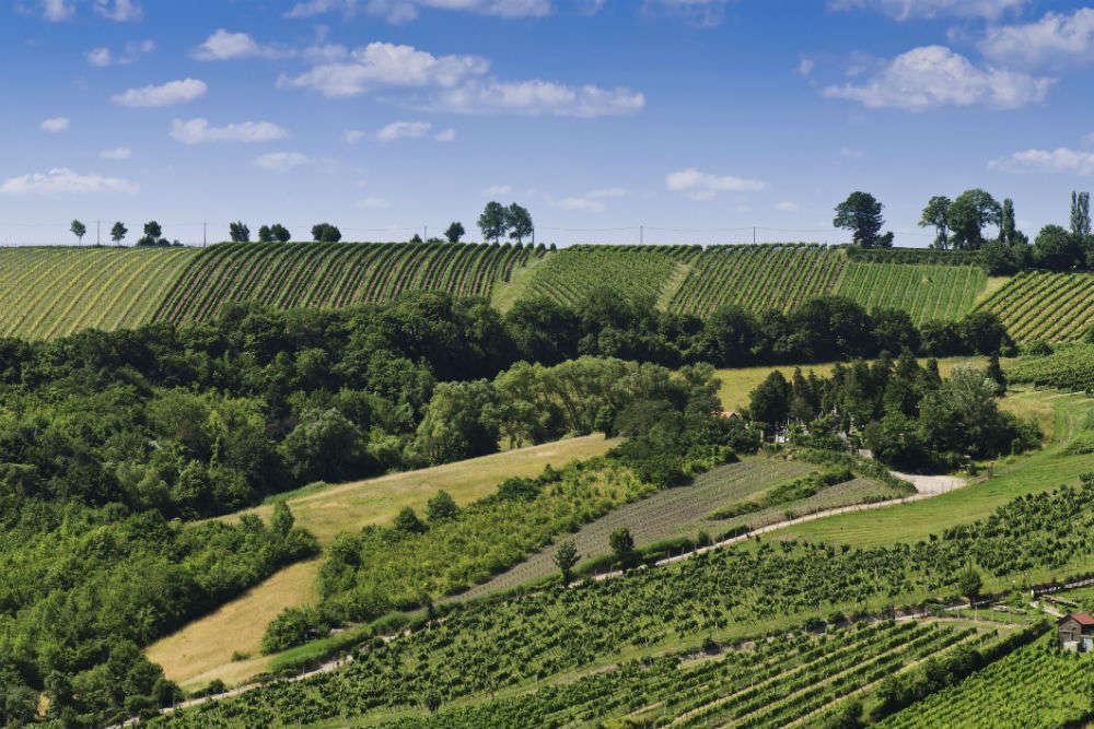Vineyards in Vienna