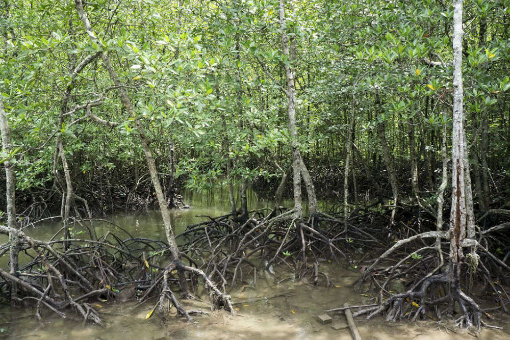 Mangroves at Kilim Geo Park