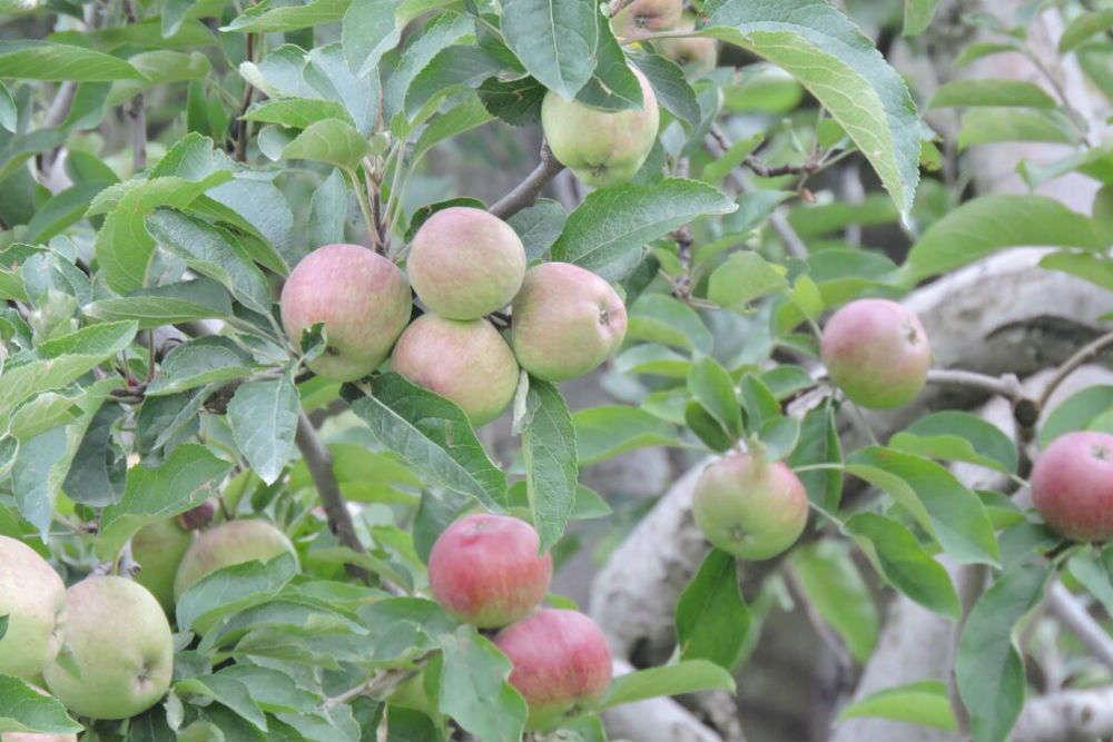 Apple Story of Thanedhar